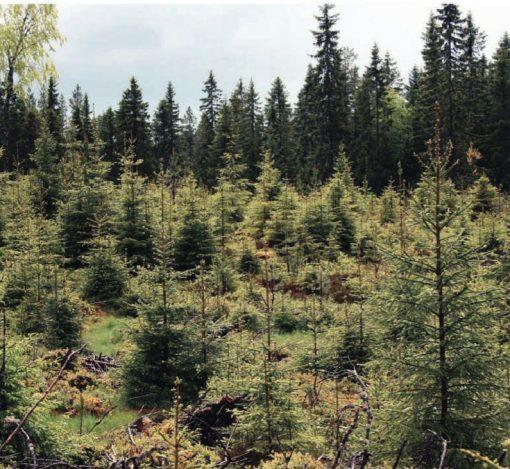 plantetilskudd: De to artikkelforfatterne ved NMBU tviler på om tilskudd til tettere planting er optimal bruk av skattepenger.