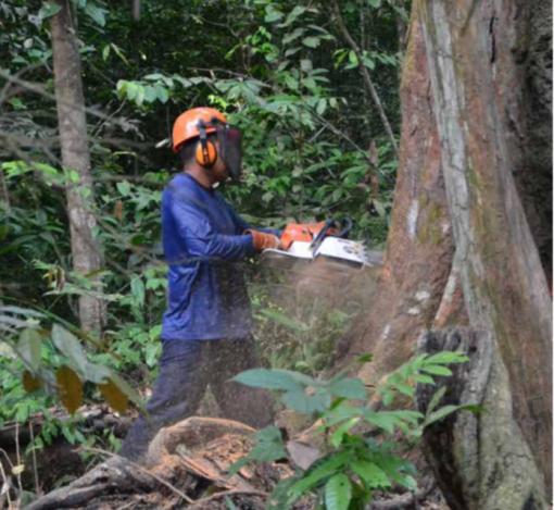 Bærekraftig skogbruk utenfor Belem: I delstaten Pará i Brasil driver det FSC-sertifiserte hogstfirmaet Cikel Madeiras Ltda bærekraftig skogbruk i regnskogen. Dette innebærer blant annet at minstediameter ved hogst er 50 cm, maksimal flatestørrelse er 25mx25m og at man forynger etter hogst. Foto Line Venn