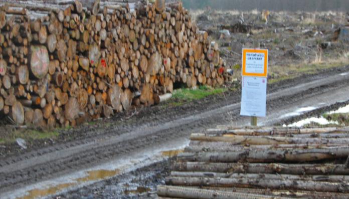 BILLETØMMER: Selv om været har vært fuktigere i sommer, fortsetter den dramatiske billesituasjonen i de tyske skogene. Store mengder tømmer har vært tatt ut både i år og i fjor. Her er billetømmer. Foto Line Venn
