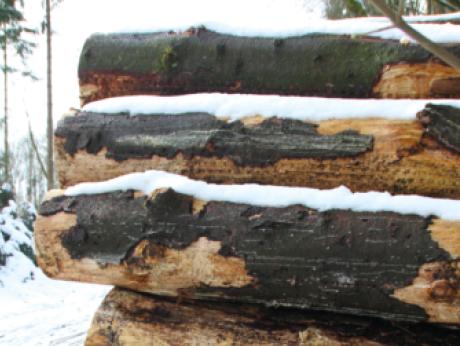 DE Statis viser til skogtilstandsundersøkelsen fra Mat- og jordbruksdepartementet som konstaterer at 75–80% av trærne i Tyskland viser tegn til tørkestress, og at det er tørken som i stor grad har forårsaket problemene.Her billetømmer i Tyskland. Foto Line Venn