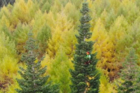 HENGER HØYT: Harald Smit fra Skogfrøverket fikk en luftig klatretur med målebånd i Kaupanger. Foto: Gwidon Tyczynski.