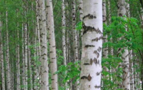 LITEN RESPONS: Ikke mye kvalitetsbjørk kom ut av skogen selv om AT Skog kunne tilby skogeierne i Agder god pris. Foto: Line Venn.